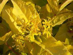 0.8/1m żywopłot cienioznośna Zadrzewnia nadbrzeżna Honeybee – Diervilla rivularis Honeybee