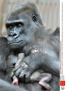 Mandatory Credit: Photo by Slavek Ruta/REX/Shutterstock A new born gorilla lays in the arms of her mother Shinda, the baby was born on April A new born gorilla born at Prague Zoo, Czech Republic - 24 Apr 2016 Mundo Animal, My Animal, Nature Animals, Animals And Pets, Beautiful Creatures, Animals Beautiful, Cute Baby Animals, Funny Animals, Prague Zoo