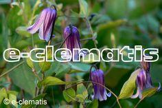 Clematis Rooguchi E-CLEMATIS