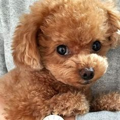 Teacup Poodle Full Grown, Teacup Poodles For Sale, Toy Poodles For Sale, Teacup Poodle Puppies, Poodle Puppies For Sale, Tea Cup Poodle, Mini Poodles, Tiny Puppies, Pomeranian Puppy