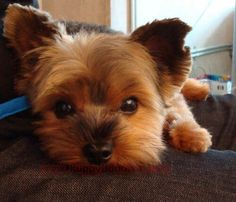 Yorkies have to be the sweetest most loving puppies in the world. At least my two are. Animals And Pets, Baby Animals, Funny Animals, Cute Animals, Cute Puppies, Cute Dogs, Dogs And Puppies, Corgi Puppies, Yorkies