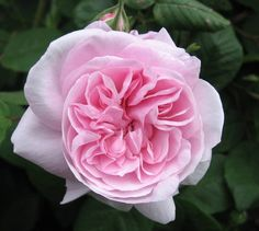 Grandmother's Hat is pink with lilac undertones, darker center, ages to light and has a strong rose fragrance.