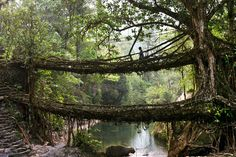The living root and vine bridges in the Khasi Hills of India