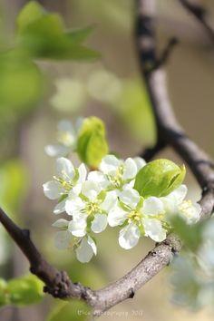 I fiori candidi di prugno (Prunus domestica L.)...