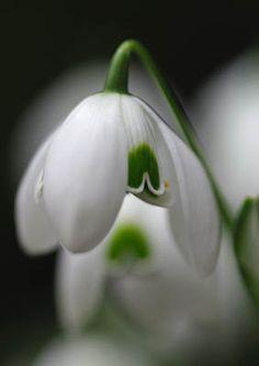 John Martin: Galanthus 'Ophelia'. Snowdrop