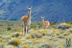 Guanakos im Los Glaciares National Park bei El Chalten