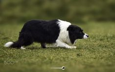 God, I love this breed! The classic intensity and focus. Mans Best Friend, Best Friends, Weekend Cottages, Fall Picnic, Havanese, Border Collies, Dog Houses, I Love Dogs, Animal Kingdom