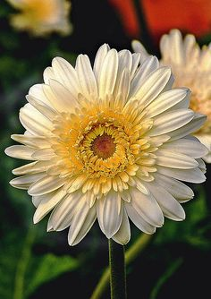 ARTIST:  Johnson Moya  White Gerbera Flower - Photograph