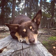 When you thinks it's Friday but then your hooman tells you it's really only Wednesday. . #humpday #wednesday #humpday #humpdayfeels #humpdayhumor #humpdayhumour #wednesdaywisdom #dogonalog #dogalogue #sadface #bored #dissapointment #kelpiecountry #kelpiekuntry #australiankelpie #instakelpies #ilovemydog #dogs #dogsofaustralia #dogstagram #dogslife #kelpiesofinstagram #kelpiegram #kelpieworld #adventuredogs #picoftheday #instadogs #happyhumpday . InstaCredit: @neensagirl77 Hump Day Humor, Aussie Dogs, Sad Faces, Working Dogs, Foxes, Wednesday, Thinking Of You, Things To Think About, Cute Animals