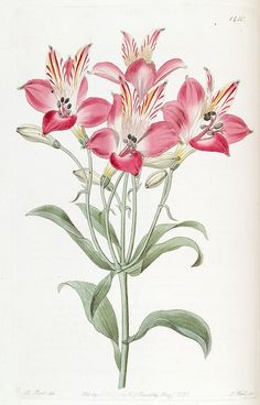 pulchella pilosa, Red speckled-flowered Alstromeria hairy variety - high resolution image from old book. Botanical Flowers, Exotic Flowers, Botanical Prints, Red Flowers, Art Floral, Flower Frame, Flower Art, Illustration Blume, Vintage Art Prints
