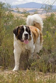 If you want a great place to buy dog accessories for your St Bernard like dog beds, dog bowls, kennels, collars, harnesses and even dog clothing and dog food then just visit the site. Chien Saint Bernard, St Bernard Puppy, I Love Dogs, Cute Dogs, Animals And Pets, Cute Animals, Mountain Dogs, Bernese Mountain, Art Plastique