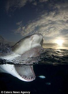 Amazing shark images