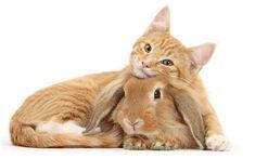 Télécharger fonds d'écran ginger le chat, le lapin, les animaux mignons, d'amitié, de drôles de petites bêtes
