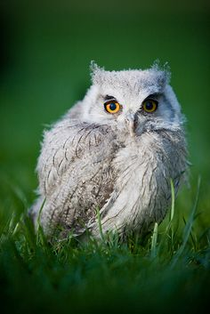 Ickle Baby Owl.. Ahhh by Jason Dale, via Flickr