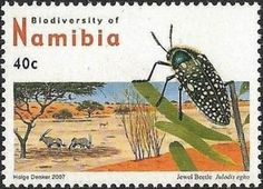 Jewel Beetle (Julodis egho)