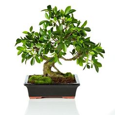 Conservatory Bonsai Tree in Planter