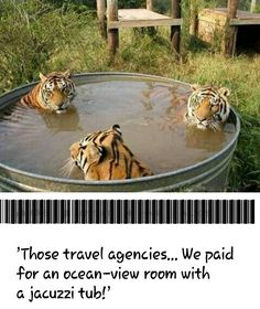 Big Cats Taking a Relaxing Bath - World's largest collection of cat memes and other animals Like Animals, Cute Baby Animals, Animals And Pets, Funny Animals, Animal Memes, Animal Humor, Beautiful Cats, Animals Beautiful, Big Cats