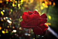 Photograph Sunlight lighting Rose by Kalpana Biswal on 500px