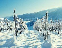 snowy vineyard photo | snowy vineyard...