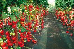 Rajčata pěstovaná ve fóliovém krytu