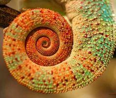 #chameleon #nikon_photography #nikon #animals #tail #macrophotography #wet by ronikanicha #chameleon #nikon_photography #nikon #animals #tail #macrophotography #wet