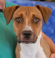 Karat, named for her golden eyes and golden heart, is a young sweetheart debuting for adoption today at Nevada SPCA (www.nevadaspca.org).  She loves nothing more than sitting beside you and showering with doggie kisses in gratitude for your kindness.  Karat is a gorgeous Bully mix, 2 years of age and now spayed.  At the time of rescue she was running by a freeway with no sign of responsible ownership (no ID tag, no microchip ID, not spayed).  Please come meet Karat and get to know her.