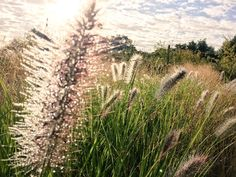 There's definitely an autumnal feel to the nursery this morning! The dew tipped seeds heads of Pennisetum 'RedHead'!