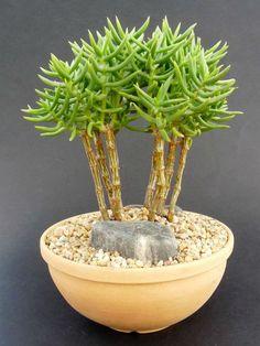 Crassula tetragona - Mini Pine Tree