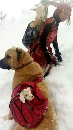 Cuteness Overload: Best Cats, Dogs and Cute Animals. — A Turkish shepherd girl carries a mother-goat and. Farm Animals, Animals And Pets, Cute Animals, Animal Pictures, Cute Pictures, Kangal Dog, Baby Turkey, Dog Backpack, Baby Goats