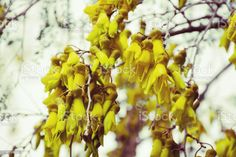 New Zealand Native (Sophora) Kowhai Bloom in Spring New Zealand's Native Kowhai Tree in Bloom in Springtime. Kōwhai are small woody legume trees within the genus Sophora that are native to New Zealand. T Abstract Stock Photo Spring Images, Spring Photos, What Image, Image Now, Golden Flower, Photo Composition, Abstract Images, Photo Illustration, Woody