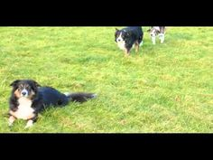 What do five Border Collies get up to when they're not working sheep? Well, they make their own entertainment ...