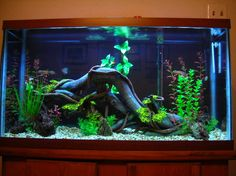 Rated 40 Gallons Freshwater Fish Tank - This is the root natural design, it was rated number 2 for 6 day s this month but ,I liked the original Sunken Ship design which my tank is back to now. What you guys think do you agree ?,both pics are on website Tropical Freshwater Fish, Tropical Fish Aquarium, Freshwater Aquarium, Aquarium Setup, Aquarium Design, Aquarium Ideas, Aquarium Decorations, Cichlid Aquarium, Reef Aquarium