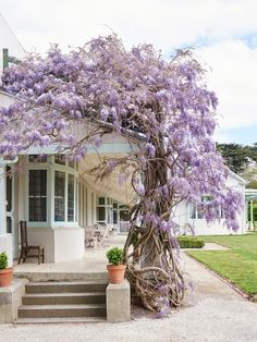 A voluptuous wisteria (Wisteria sinensis) winds its way around the verandah of Coombe Cottage. Photo – Eve Wilson. Production – Lucy Feagins / The Design Files.