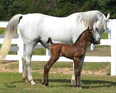Azaamah and her filly Azizah Z Arabian horses Beautiful Arabian Horses, Arabian Stallions, Horse Facts, Akhal Teke, Wild Horses, Beautiful Babies, Beautiful Creatures, Egyptian, Cute Animals