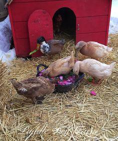 The Breakfast Club enjoyed fresh tulips and greens this morning!  #PuddleDryFarm #duck #ducks #backyardducks #backyardchickens #drake #DucksofInstagram #ducksofinstragram #chickensofinstagram #chickens #hensofinstagram #hens #urbanfarming #Farm #Homestead #Homesteading #blizzard2016 #breakfastclub by puddle_dry_farm