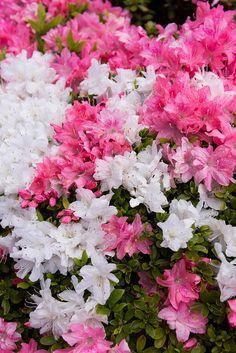 吾妻鏡  Azalea, at Jindai Botanical Gardens,  Tokyo ▓█▓▒░▒▓█▓▒░▒▓█▓▒░▒▓█▓ Gᴀʙʏ﹣Fᴇ́ᴇʀɪᴇ ﹕☞ http://www.alittlemarket.com/boutique/gaby_feerie-132444.html ══════════════════════ ♥ Bɪᴊᴏᴜx ᴀ̀ ᴛʜᴇ̀ᴍᴇs ☞ https://fr.pinterest.com/JeanfbJf/P00-les-bijoux-en-tableau/ ▓█▓▒░▒▓█▓▒░▒▓█▓▒░▒▓█▓