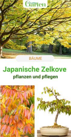 Die Japanische Zelkove ähnelt der Ulme, strotzt aber selbst im Klimawandel vor Gesundheit. Wir erklären, warum Zelkova serrata öfter gepflanzt werden sollte. #baum #zelkove #meinschoenergarten #klimawandel Creative, Elm Tree, Health, Nice Asses
