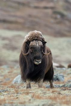 Muskox (Moskus) in Dovre mountain plateau, Oppland, Norway) - Rare Animals, Animals And Pets, Majestic Animals, Animals With Horns, Animal Lamp, Arctic Tundra, Musk Ox, Mundo Animal, Wild Nature
