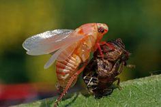 'Metamorphose Käferzikade' von Rainer Clemens Merk bei artflakes.com als Poster oder Kunstdruck $18.03