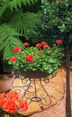 Easy To Grow Houseplants Clean the Air Geranium Baby's First Haircut, Baby Haircut, Most Beautiful Flowers, All Flowers, Garden Club, Lawn And Garden, Easy To Grow Houseplants, Pots, Red Geraniums