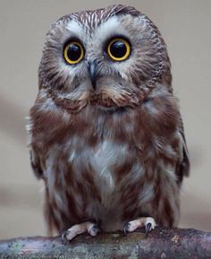Great Owl  ~ Photograph By @kristoferrowephotography