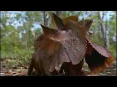Wild Australian frilled lizards fight for territory in canopy trees - BBC wildlife: I love how they run around on two legs!  :D  Reminds me of Rescuers Down Under, of course.  :)