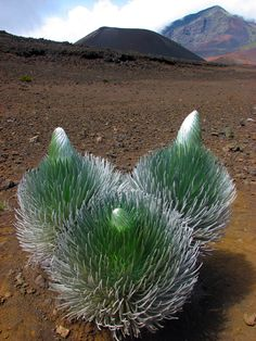 "typhlonectes: "" Native Hawaiian Silverswords Threatened by Shifting Climate Patterns Compared to some plants, like ferns or mosses, the well-named Haleakalā silversword, or ʻāhinahina (Argyroxiphium sandwicense macrocephalum), appears forbidding and. Succulent Gardening, Cacti And Succulents, Planting Succulents, Cactus Plants, Planting Flowers, Garden Plants, Weird Plants, Unusual Plants, Exotic Plants"