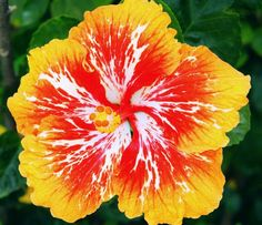 Dinnerplate Hibiscus& Red Hot& Perennial Flower Seed& Easy to Grow& Huge Inch Flowers bonsai flower seeds Flowers Perennials, Hawaiian Flowers, Beautiful Flowers, Hibiscus Flowers, Hibiscus, Gumamela, Bonsai Flower, Hibiscus Plant, Flower Seeds