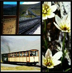 #Snowdon Lily