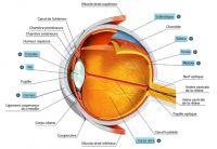 oeil-anatomie