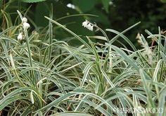 Ophiopogon planiscapus 'Juru'  Variegated Dwarf Mondo Grass