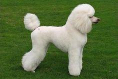 10 Tipos de corte de pelo para perros caniche o poodle - ExpertoAnimal