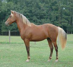 Unconventional, 2006 silver dapple bay Morgan horse