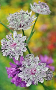 Crystalke white and purple Astrantia flower stem